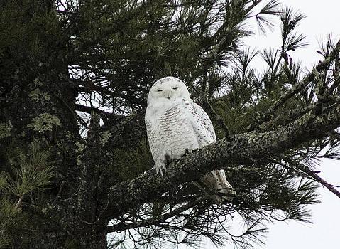 Snowy Owl by Melissa Petrey