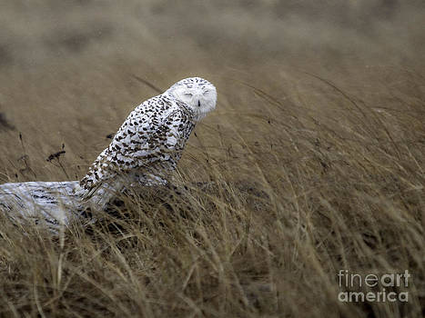 Tim Moore - Snowy Owl Rain