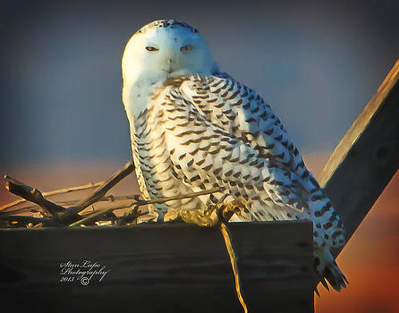 Snowy Owl by Stanley Lupo