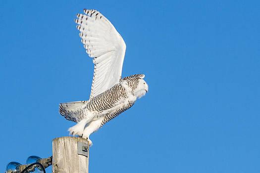 Snowy Owl Take Off by Kathy Weigman