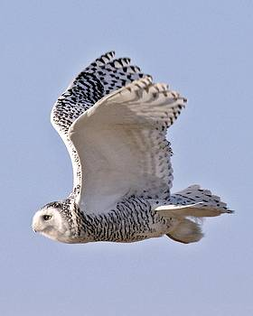 Snowy Owl Takes Flight at Plum Island by Rick Frost