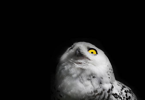 Snowy Owl with yellow eye by Stephanie McDowell