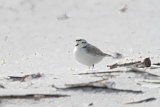 Snowy Plover by Bob Richter