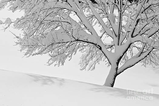 Snowy Tree by Jay Nodianos