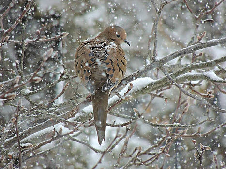 Kimberly Perry - Snowy Turtle Dove