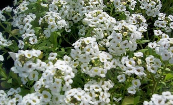 Linda Gonzalez - Snowy White Flowers