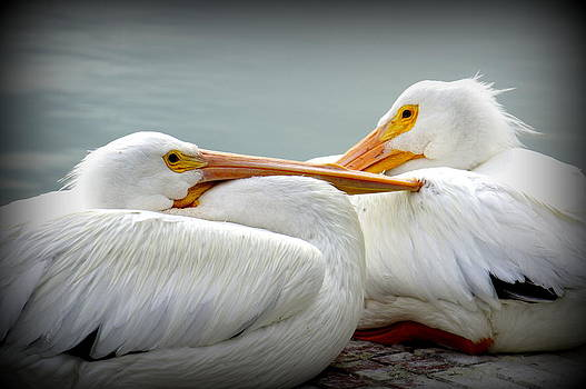 Laurie Perry - Snuggly Pelicans