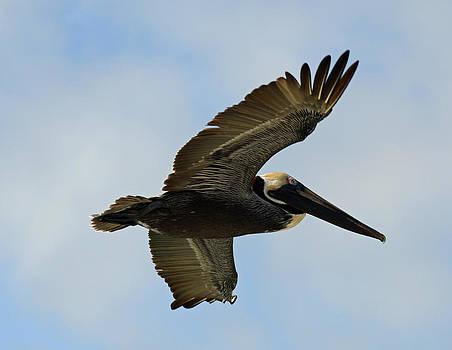 Soaring Brown Pelican by Bruce Gourley
