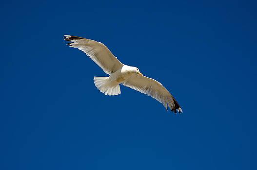 Soaring Herring Gull by David Davies