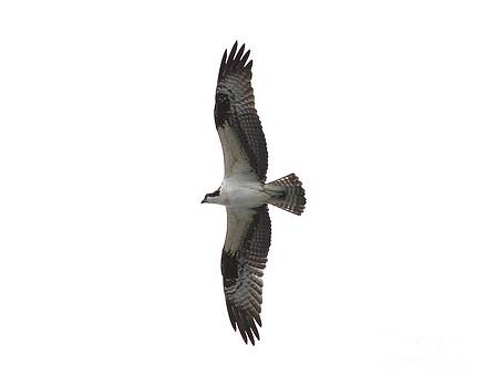 Soaring Osprey by Theresa Willingham