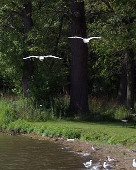 Soaring Seagulls by Michael Sokalski