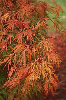 Soft Breeze - Japanese Maple Tree by Angie Tirado
