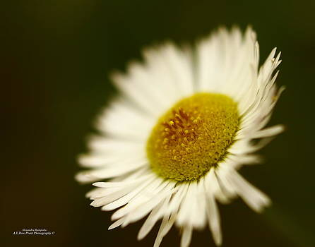 Soft Lighted Daisy by Alexandra  Rampolla