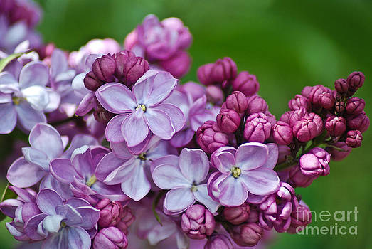 Soft Lilac blooms by Michelle Hulen