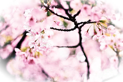 Beverly Claire Kaiya - Soft Pink Cherry Blossoms in the Sunlight