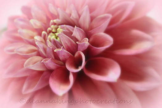 Soft Pink Dalia by Deanna King