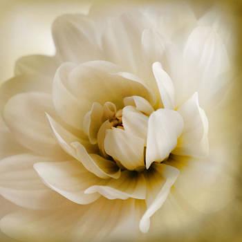 Soft White Dahlia by Sally Bauer