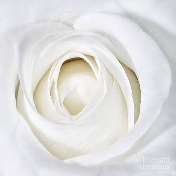 Kate McKenna - Soft White Rose