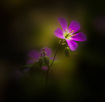 Softly I Bloom by Paul Barson