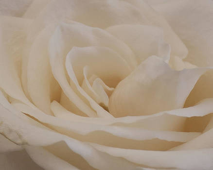 Sandra Foster - Soft Cream Rose Closeup