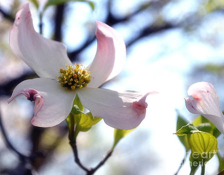 Softness of a Dogwood by Eva Thomas