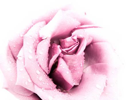 Kevin D Davis - Softness of a Rose
