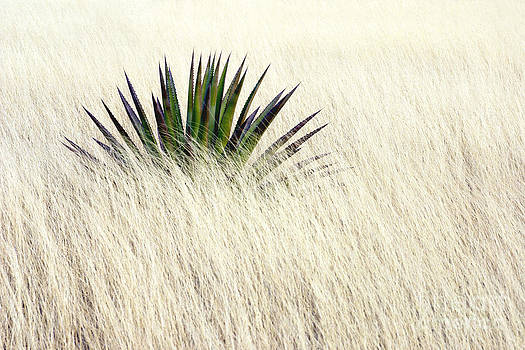 Douglas Taylor - SOLITARY AGAVE