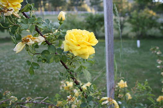 Solitary Golden Rose by Natalie Keegan