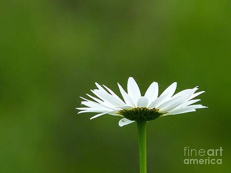 Christine Stack - Solitary White Daisy Against a Green Background