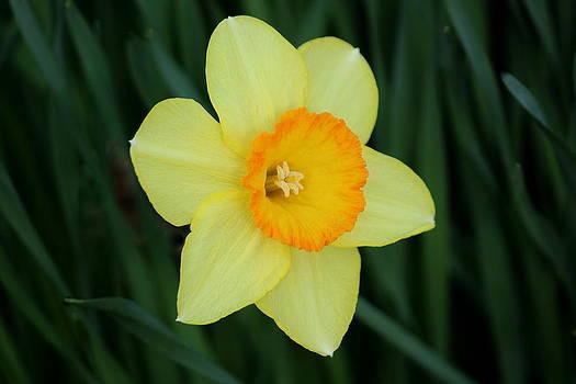 Rosanne Jordan - Solo Daffodil Beauty