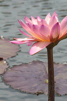 Solo Waterlily by Jill Bell