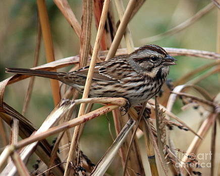 Song sparrow by Bren Thompson