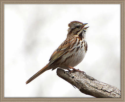 Song Sparrow by Jim Law