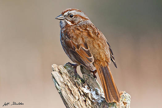 Song Sparrow on a Driftwood Perch by Jeff Goulden