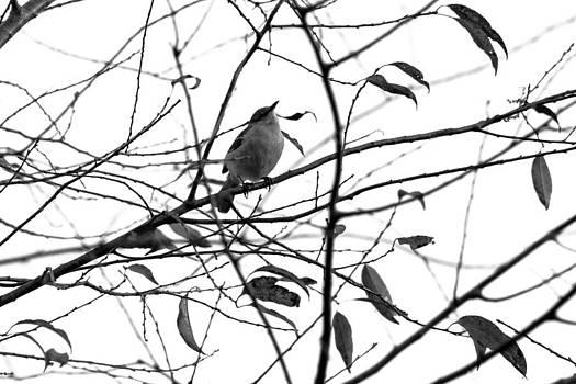 Gaurav Singh - Songbird