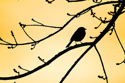 Songbird Sunset Silhouette  by Nathaniel Kidd