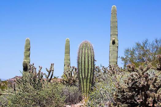 Sonoran Desert Cactus by Jodi Jacobson