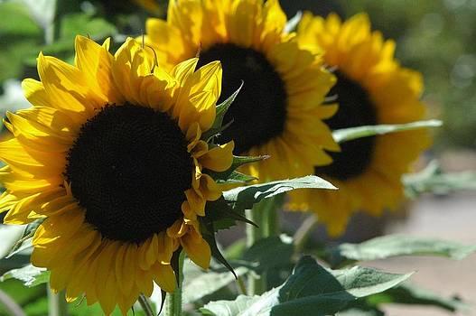 Sonoran Sunflower by Erin Lorandos