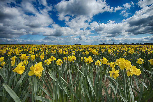 South Holland Daffodils by Tony Coleby