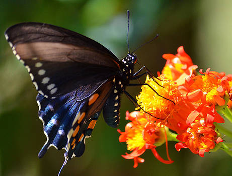 South Texas Black Swallowtail Butterfly by Charles Frieda