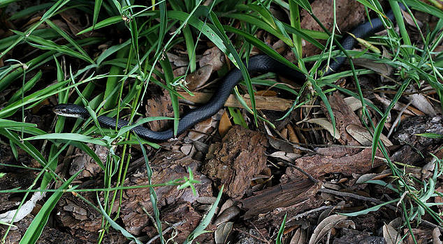Southern Black Racer by April Wietrecki Green