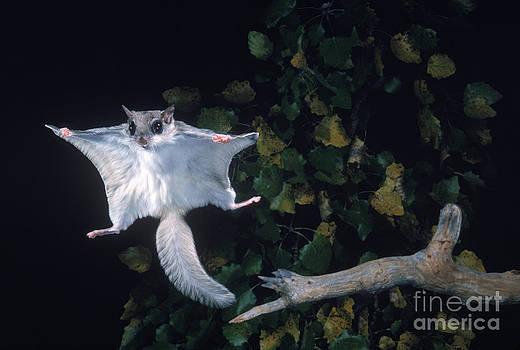 Nick Bergkessel Jr - Southern Flying Squirrel