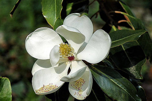 Southern Magnolia by Beckie Fitgerald