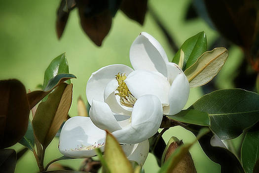 Southern Magnolia II by Beckie Fitgerald