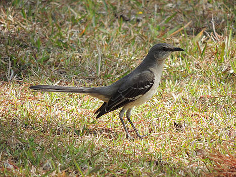 Southern Mockingbird by Kim Pate
