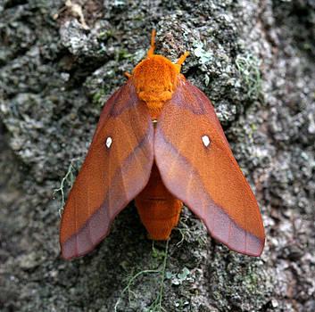 Southern Pink-Striped Oakworm Moth by April Wietrecki Green