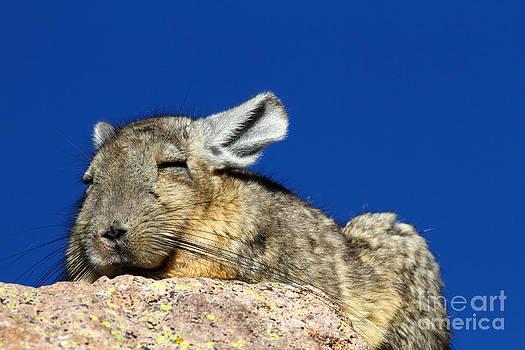 James Brunker - Southern Viscacha