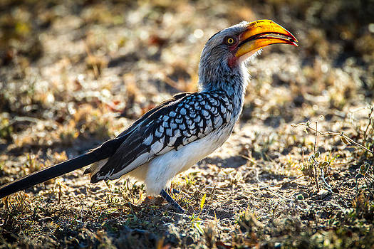 Southern Yellow Billed Hornbill by Craig Brown