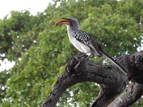 Southern Yellow-billed Hornbill by Hermien Pellissier