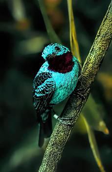 Spangled Cotinga Turquoise Bird by Tracie Kaska